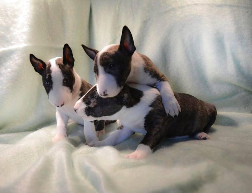 Cini-Mini Agent Arzén (Arzén) - Miniature English Bull Terrier